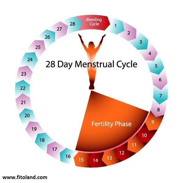 چگونه زمان تخمک گذاری خود را مشخص کنیم؟