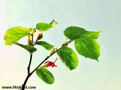 Plants Suitable For Weight Loss Gymnema Sylvestre
