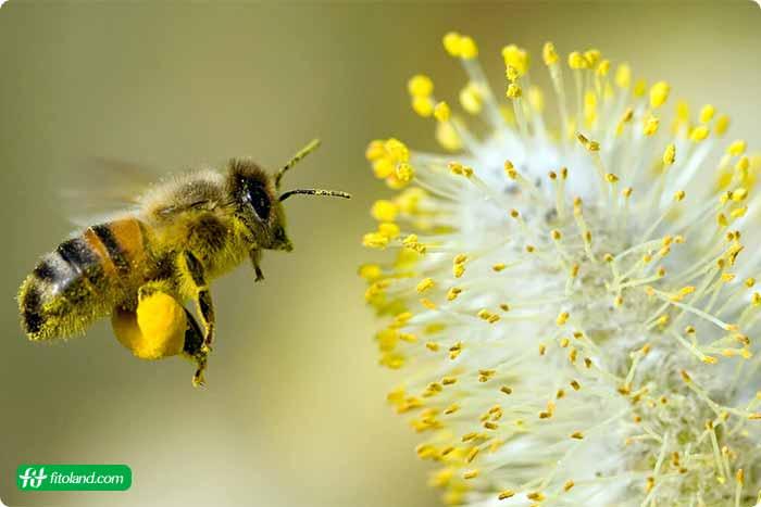 اثرات درمانی گرده گل